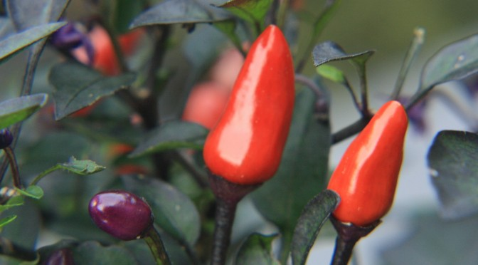 Chillies - Capsicum annuum example